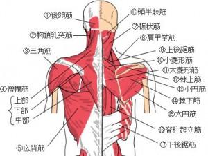 脊柱起立筋は、身体の中心にあって、腰を前後に振るために使われる筋肉です。